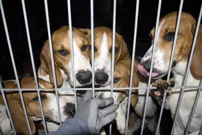 chien-laboratoire