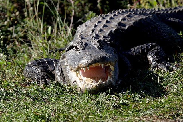 alligator-chien