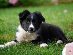 experience-border-collie