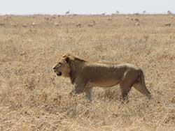 chasse-lion-bachman