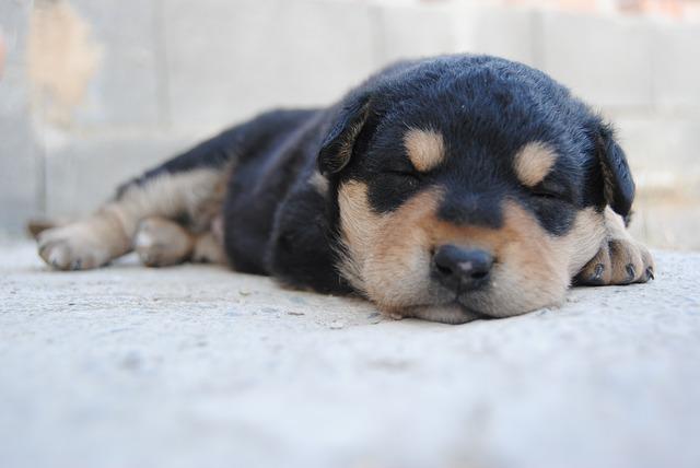 chien-rêve