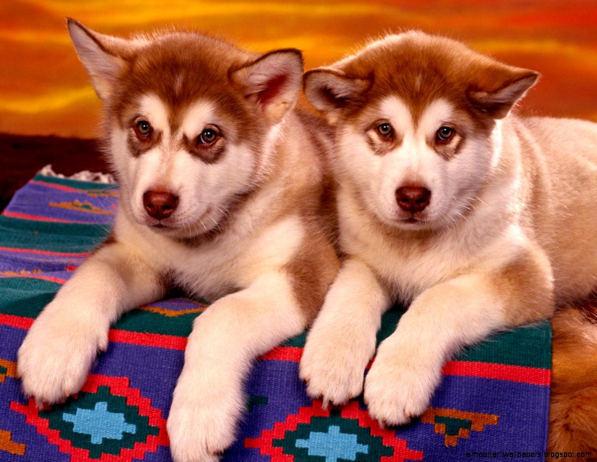chien-clone