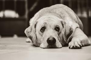 Dépression chez les chiens et chats