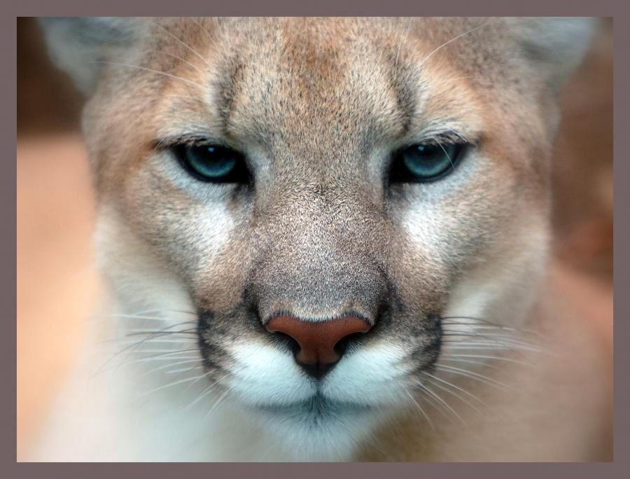 combat-cougar-chien