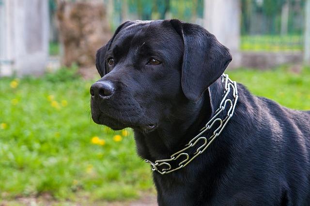 labrador-noir
