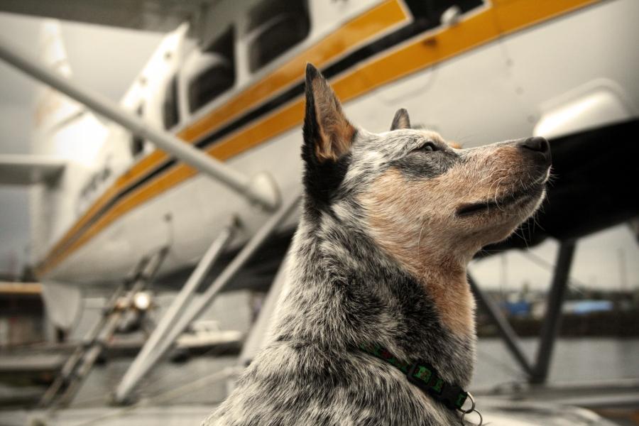 avion-chien