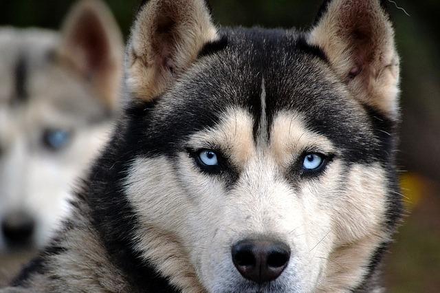 husky-refugie