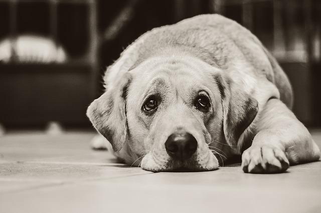 chien-handicapé
