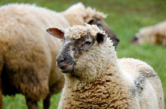 drone-mouton