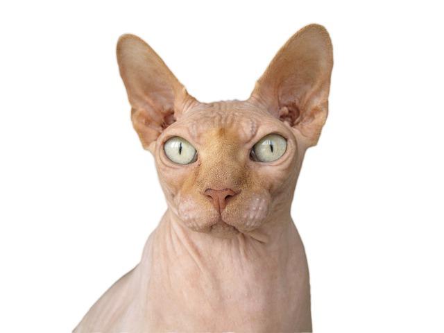 chat-rasé