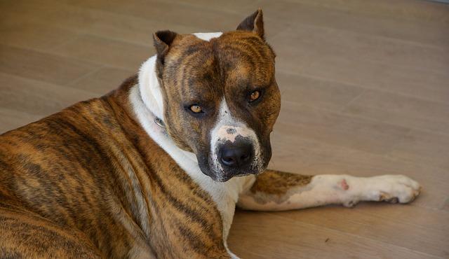 staffordshire-chien