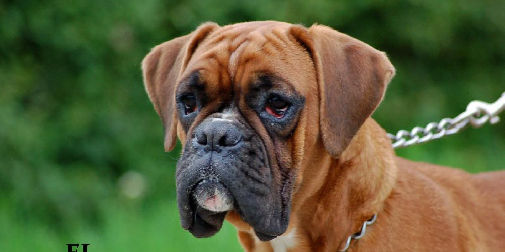 Pictures boxer puppies of