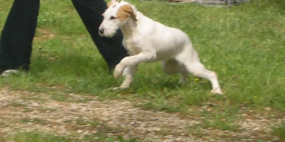 Race de chien chien courant d 39 istrie poil dur mutuelle - Enlever poil de chien voiture ...