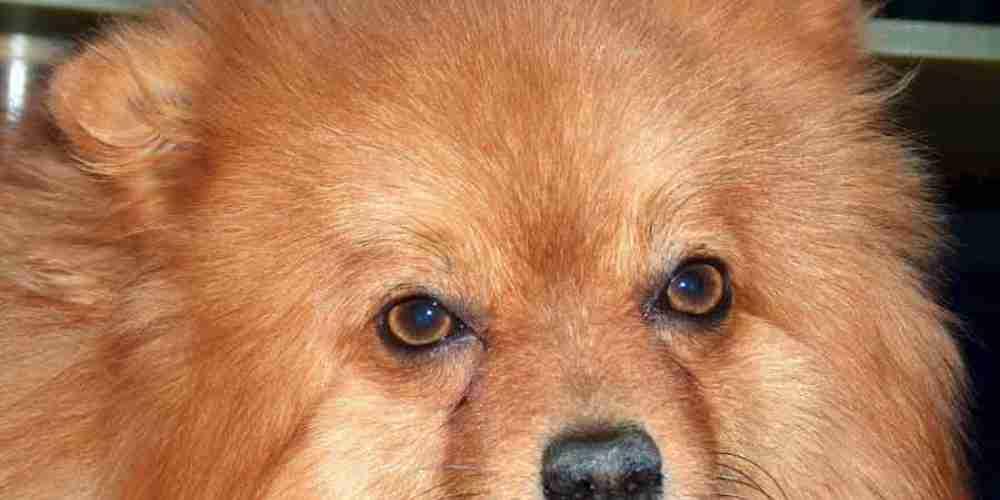 volpino-chien