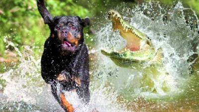 chien-alligator