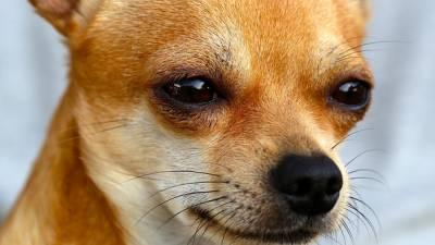 Rottweiler-sauve-chihuahua