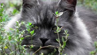 herbe-chat