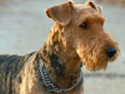 Voir la fiche du Chien de race Airedale Terrier