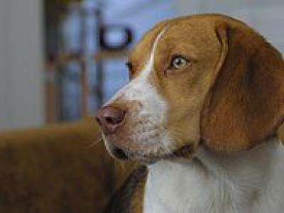 Voir la fiche du Chien de race Beagle
