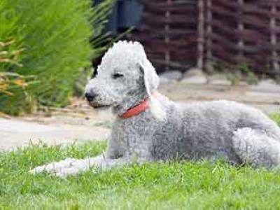 Voir la fiche du Chien de race Bedlington Terrier