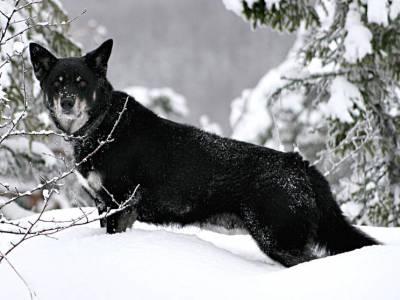 Voir la fiche du Chien de race Berger Finnois De Laponie