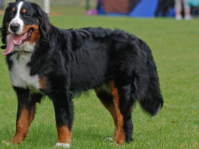 Voir la fiche du Chien de race Berner Sennenhund