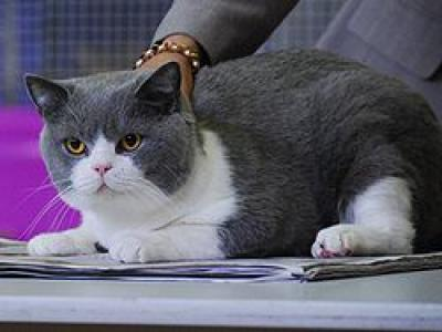 Voir la fiche du Chat de race British Shorthair