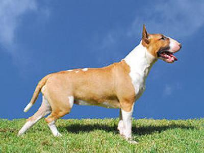 Voir la fiche du Chien de race Bull Terrier