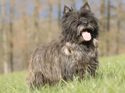 Voir la fiche du Chien de race Cairn Terrier