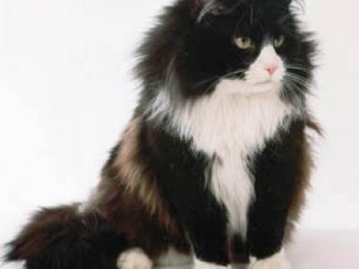 Voir la fiche du Chat de race Chat Des Forêts Norvégiennes