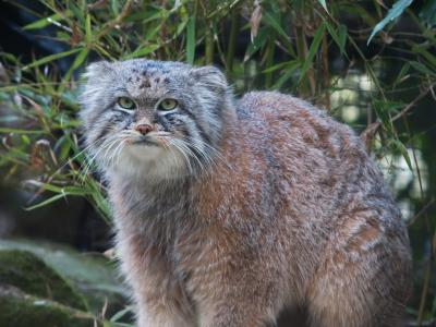 Voir la fiche du Chat de race Chat De Pallas