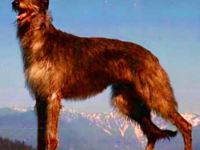 Voir la fiche du Chien de race Deerhound