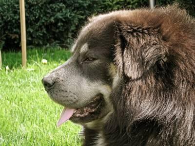Voir la fiche du Chien de race Dogue Du Tibet