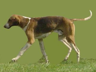 Voir la fiche du Chien de race Fox Terrier À Poil Lisse (Fox Anglais)