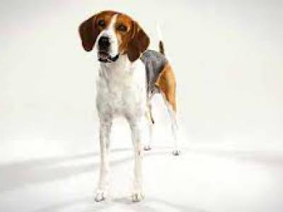Voir la fiche du Chien de race Foxhound américain