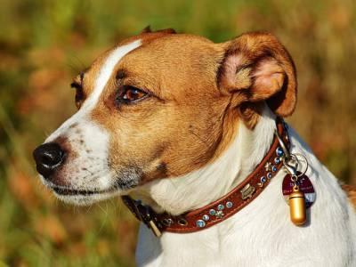 Voir la fiche du Chien de race Jack Russel Terrier