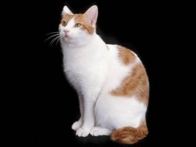 Voir la fiche du Chat de race Japanese Bobtail