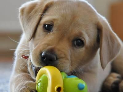 Voir la fiche du Chien de race Labrador Retriever
