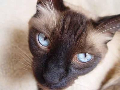 Voir la fiche du Chat de race Siamois