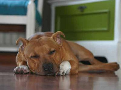Voir la fiche du Chien de race Staffordshire Bull Terrier (English Staffordshire)