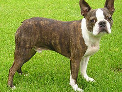 Voir la fiche du Chien de race Terrier De Boston