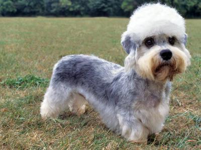 Voir la fiche du Chien de race Terrier Dandie Dinmont