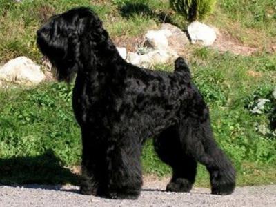 Voir la fiche du Chien de race Terrier Noir Russe (Tchiorny Terrier)