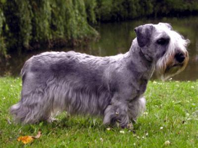 Voir la fiche du Chien de race Terrier Tchèque