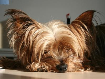 Voir la fiche du Chien de race Yorkshire Terrier (Terrier Du Yorkshire)