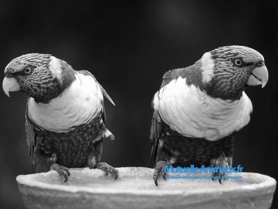 Voir la fiche du Amazones Oiseaux