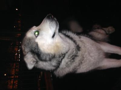 husky-siberien